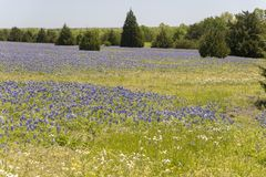 Ennis Texas Bluebonnet Field on Farm stock photography