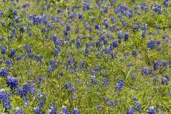 Ennis Texas Bluebonnet Field na explora??o agr?cola fotografia de stock