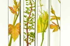 Enologia, młody winograd strzela w czerwonych próbnych tubkach, Badawczy Laborato obraz stock
