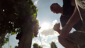 Enologo o vinaio Tasting Quality dell'uva matura stock footage