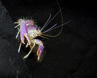 enoplometopus occidentalis Fotografia Royalty Free