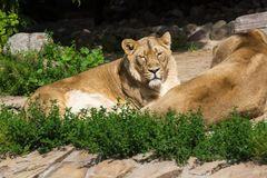 Enorgullézcase los restos antes de la caza, del león asiático masculino joven y de la hembra imagenes de archivo