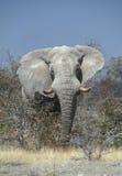 enorm afrikansk elefant Fotografering för Bildbyråer
