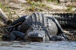 Enorm amerikansk alligator, fristad för djurliv för Okefenokee träsk nationell arkivbilder
