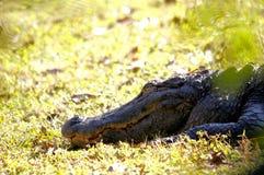 Enorm amerikansk alligator i våtmarker i Florida Arkivfoton
