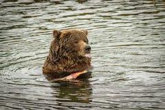 Enorm björn som äter laxfisken i Katmai NP, Alaska Arkivfoton