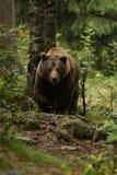 Enorm brunbjörn som framifrån ses i träna Royaltyfri Bild