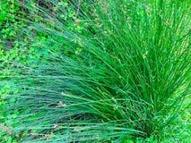 Enorm buske av gräs, grönt gräs arkivfoto