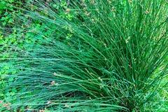 Enorm buske av gräs, grönt gräs royaltyfri bild