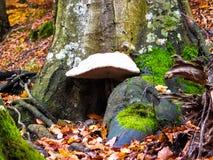 Enorm champinjon, fastsittande skällträd Fotografering för Bildbyråer
