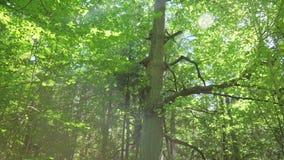 Enorm ek med stora filialer som växer i solig dag för tät skog i trä stock video