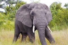 Enorm elefant Arkivbild