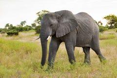 enorm elefant Arkivfoto