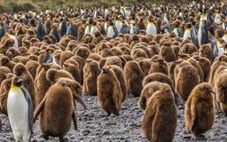 Enorm flock av barn och vuxen konung Penguins på södra Georgia Islands Royaltyfri Bild