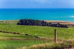 Enorm flock av får som betar nära havet Arkivbild
