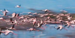 Enorm flock av flamingo som tar av kenya _ Nakuru National Park SjöBogoria nationell reserv royaltyfria foton