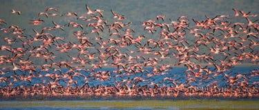 Enorm flock av flamingo som tar av kenya _ Nakuru National Park SjöBogoria nationell reserv arkivbild