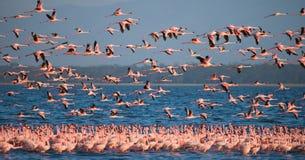 Enorm flock av flamingo som tar av kenya _ Nakuru National Park SjöBogoria nationell reserv arkivfoto