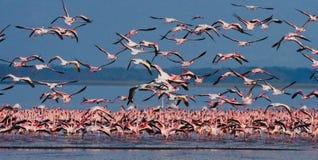 Enorm flock av flamingo som tar av kenya _ Nakuru National Park SjöBogoria nationell reserv royaltyfria bilder