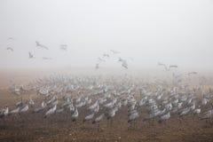 Enorm flock av kranar arkivfoton