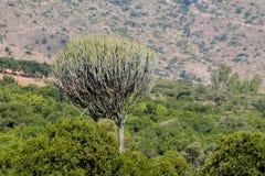 Enorm grön stor buske för kaktus som är hög som ett träd arkivfoton