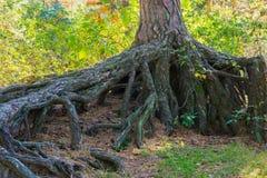 Enorm grote naakte boomwortels boven de grond in een boslandschapsscène royalty-vrije stock afbeelding
