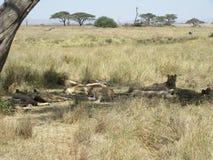 Enorm grupp av lejon som ligger under träd i skugga i den Serengeti nationalparken royaltyfria bilder