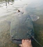 Enorm havskatt som grips av handen royaltyfria foton