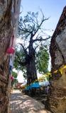 Enorm Hopea Odorata i thailändsk tempel Royaltyfri Fotografi
