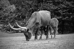 Enorm horn- buffel i tjeckisk enda safari royaltyfri foto