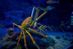 Enorm Japanesse spindel-krabba inom av akvariet av Osaka i Japan royaltyfri bild
