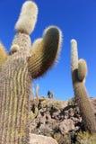 Enorm kaktus, Salar de Uyuni, Bolivia Arkivbilder