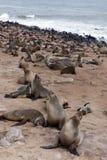 Enorm koloni av den bruna pälsskyddsremsan - sjölejon i Namibia Royaltyfri Bild