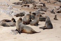 Enorm koloni av den bruna pälsskyddsremsan - sjölejon i Namibia Royaltyfria Foton