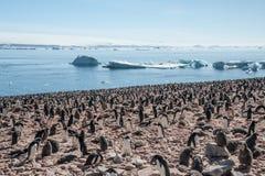 Enorm koloni av Gentoo pingvin Arkivfoton