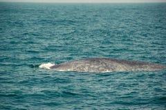 Enorm lös simning för blått val i det indiska havet Djurlivnaturbakgrund Utrymme för text Affärsföretaglopp, turismbransch mir Royaltyfri Fotografi