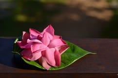 Enorm lotusblommablomma i solljus Arkivfoton