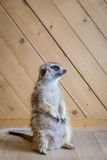 Enorm meerkat sköt inomhus Royaltyfria Foton