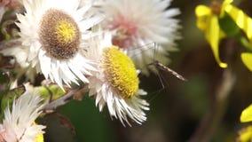 Enorm mygga på en blomma lager videofilmer