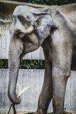 Enorm och kraftig afrikansk elefant, huddetalj Arkivbild