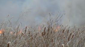 Enorm rök från en löpeld i skogstäppen Brännande torrt gräs och buskar Torr vass som bränner från en flamma lager videofilmer