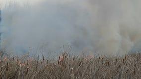 Enorm rök från en löpeld i skogstäppen Brännande torrt gräs och buskar Torr vass som bränner från en flamma stock video