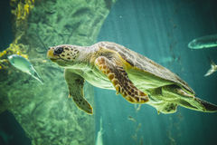 Enorm sköldpaddasimning under havet Arkivfoto