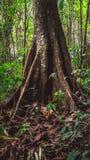 Enorm stam av ett träd Royaltyfria Foton