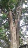 Enorm trädstam Royaltyfri Bild