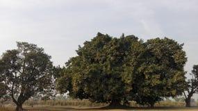 enorm tree Arkivbild
