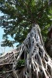 Enorm vit rotar av det Tetrameles trädet Frodig krona av ett tropiskt träd royaltyfria foton