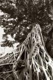 Enorm vit rotar av det Tetrameles tr?det Frodig krona av ett tropiskt tr?d arkivbild