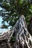 Enorm vit rotar av det Tetrameles tr?det Frodig krona av ett tropiskt tr?d royaltyfria bilder