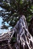 Enorm vit rotar av det Tetrameles tr?det Frodig krona av ett tropiskt tr?d arkivfoton